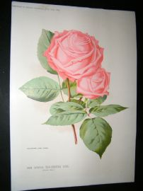 Amateur Gardening 1894 Botanical Print. New Hybrid Tea-Scented Rose